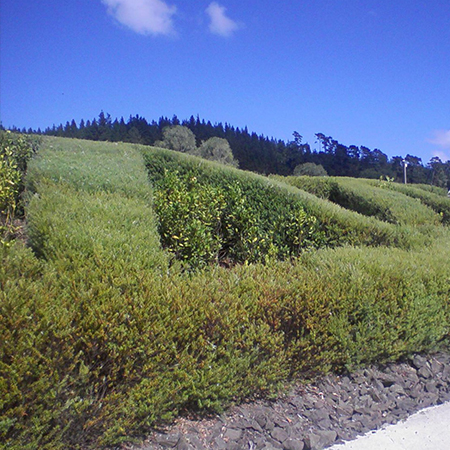 Hedge Contractor Auckland